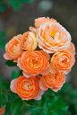●予約新苗● スイートドリーム (Cl橙色) 国産苗 新苗 ● 【つるバラ.ツルバラ.つるばら】 【バラ苗】※5月末までにお…