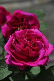 バラ苗【中苗】グロワールドゥデュシェ (HP紫) 国産苗 6号鉢植え品《J-OC20》