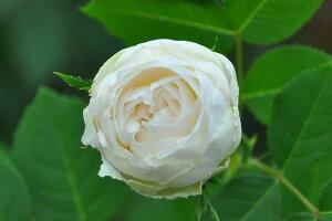 【大苗】バラ苗 ルイズダルザン (N白) 国産苗 6号鉢植え品【即納】《J-OB20》 0321追加