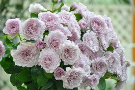 【予約大苗】バラ苗 リベルラ (FGN紫) 国産苗 6号鉢植え品《OS-OS2》 ※2月末までにお届け
