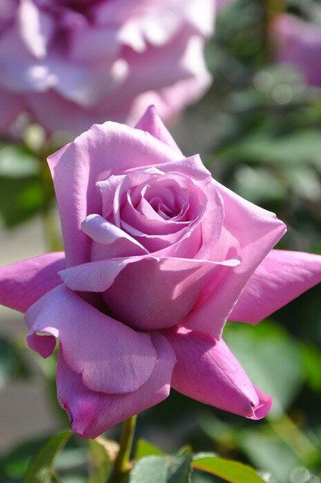 バラ苗【新苗】シャルルドゴール (HT赤紫) 国産苗《J-HT10》
