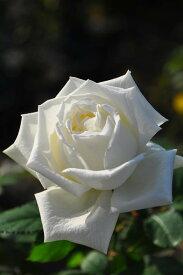 バラ苗【中苗】ヨハネパウロ2世 (HT白) 国産苗 6号鉢植え品【即納】《J-IRM2》