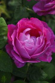 バラ苗【中苗】マダムルイーズピロン (HP桃) 国産苗 6号鉢植え品《J-OC20》