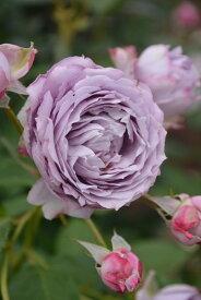 【予約大苗】バラ苗 ノヴァーリス (Ant紫) 国産苗 6号鉢植え品《J-IR2R》 ※2月末までにお届け