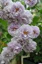 バラ苗【半長尺苗】レイニーブルー (Cl藤) 国産苗 6号鉢植え品《J-IRM2》