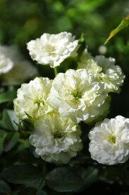 【予約大苗】バラ苗 グリーンアイス (Min複白緑) 国産苗 6号鉢植え品《J-MB》 ※2月末までにお届け