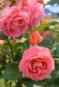 ◎即納 【バラ苗】 イーハトーブの香 (FL桃) 国産苗 新苗 6号鉢植え品 ● 【四季咲き.木立.中輪房咲き.フロリバンダ】…