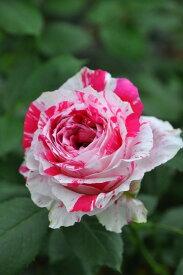 【予約大苗】バラ苗 センチメンタル (Fl絞赤白) 国産苗 6号鉢植え品《YM-B_J-MB》 ※2月末までにお届け