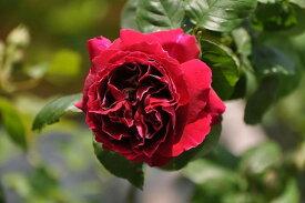 【予約大苗】バラ苗 バロンジロードゥラン (HP覆赤) 国産苗 6号鉢植え品《J-MC》 ※2月末までにお届け
