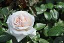 ◆即納 【バラ苗】 マイガーデン (Ant桃) 国産苗 中苗 6号鉢植え品 ● 【アンティークタッチのバラ.大輪.ハイブリッド・ティー】《IR》