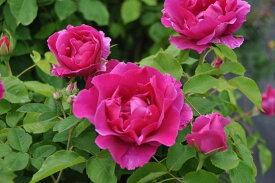 バラ苗【中苗】ドルシュキルブラ【紅不二】(HP濃桃) 国産苗 6号鉢植え品《J-OC20》