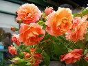 ●予約新苗● ボルデュールアブリコ (Del橙色) 国産苗 新苗 ● 【デルバール】 【バラ苗】※6月中旬頃までにお届けの…