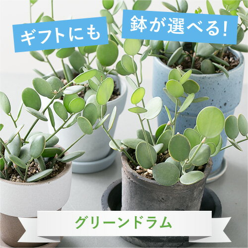 【選べる鉢】【観葉植物】グリーンドラム 鉢植えセット【植木鉢 おしゃれ 鉢 インテリア ミニ観葉 陶器鉢 ギフト】