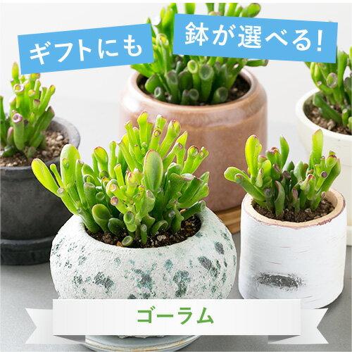 【選べる鉢】【観葉植物】ゴーラム 鉢植えセット【植木鉢 おしゃれ 鉢 インテリア ミニ観葉 陶器鉢 ギフト】