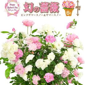 6号鉢 高さ55センチ 2色植え 幻の薔薇 ピンクサマースノー&サマースノー 母の日プレゼント用ラッピング付 2021年 花 ローズ 鉢植え ハルガスミ つる薔薇 花鉢