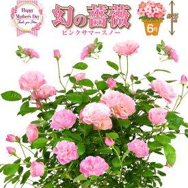 6号鉢 高さ55センチ 1色植え 幻の薔薇 ピンクサマースノー 母の日プレゼント用ラッピング付 2021年 花 ローズ 鉢植え ハルガスミ つる薔薇 花鉢