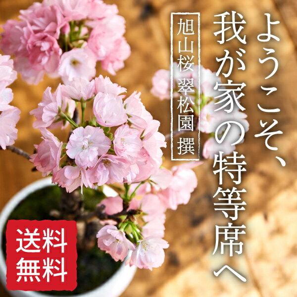 (桜盆栽)旭山桜 盆栽(桜 盆栽 bonsai ボンサイ さくら ミニ盆栽 桜盆栽 送料無料 お祝い エア花見) 翠松園 撰【4月下旬からは葉姿でのお届けになります。】【包装不可・のし不可 ご了承ください。】【楽ギフ_
