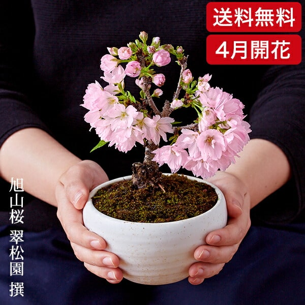 (桜盆栽)旭山桜 盆栽(送料無料)(桜 盆栽 bonsai ボンサイ さくら ミニ盆栽 桜盆栽 お祝い エア花見) 翠松園 撰【開花時期は3月末から4月頃となります。】【包装不可・のし不可 ご了承ください。】