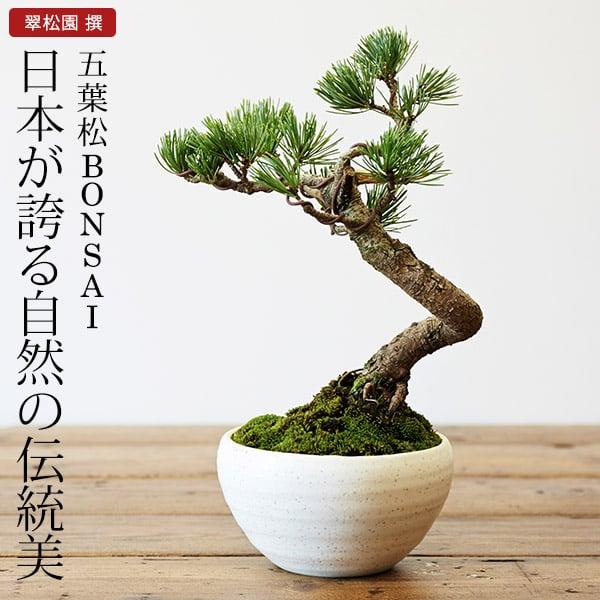 五葉松 盆栽(ミニ盆栽 bonsai ボンサイ) 翠松園 撰【包装不可・のし不可 ご了承ください。】/ギフト お祝い 内祝い お礼 お返し 誕生日 快気祝い【楽ギフ_