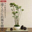 クロ松 盆栽(ミニ盆栽 bonsai ボンサイ) 翠松園 撰【包装不可・のし不可 ご了承ください。】/ギフト お祝い …