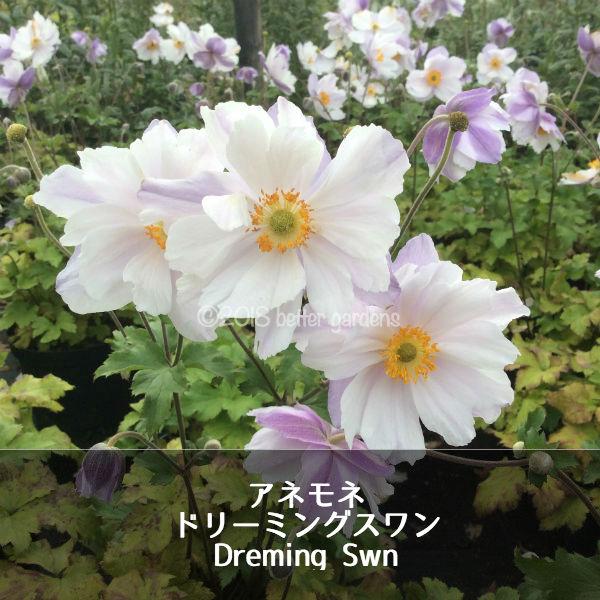 【宿根草】アネモネ ドリーミングスワン Anemone Dreaming Swan(R) 【1セット2ポット】 花苗 ガーデニング 庭 花壇 花 苗物 園芸 季節