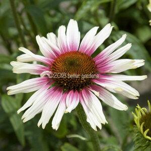 【宿根草】エキナセア ファンキーホワイト(2ポット1セット/9cmポット)【Aグループ】ECHINACEA purprea 'Funky White'