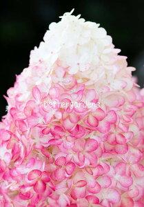 【アジサイ】ハイドランジア 'リビングピンクアンドローズ'(10.5cmポット)【Gグループ】HYDRANGEA paniculata 'Living Pink and Rose'