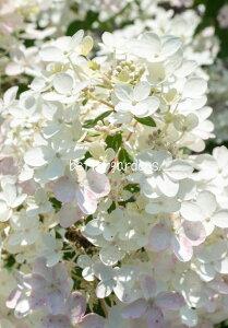 【アジサイ】ハイドランジア 'リビングタッチオブピンク'【Aグループ】Hydrangea paniculate 'Living Touch of Pink'