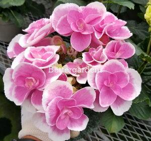 【アジサイ】ドリップピンク【送料無料】ギフト不可 平均3~4輪 HYDRANGEA macrophylla 'Drip Pink'