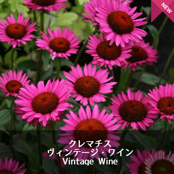 【宿根草】エキナセア ヴィンテージワイン Echinacea Vintage Wine(R) 【1セット2ポット】花苗 ガーデニング 庭 花壇 花 苗物 園芸 季節