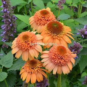 【宿根草:ヨーロッパ企画】エキナセア 'シュプリームカンタロープ'(9cmポット/休眠期)【Dグループ】(予約商品:出荷まで2~4週間) ECHINACEA purpurea 'Supreme Cantaloupe'