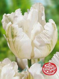 【球根】チューリップ 'ホワイトパーロット' (1袋/10球入)【Dグループ】TULIPA 'White Parrot' 予約商品:8月上旬頃より出荷