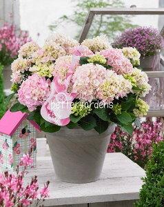 【アジサイ】ソフトピンクサルサ【Gグループ】ギフト不可 出荷時期:5月中旬ごろより(気候により前後いたします) HYDRANGEA macrophylla 'Soft Pink Salsa'