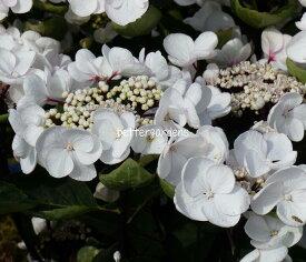 【アジサイ】チョコチックホワイト【Aグループ】ギフト不可HYDRANGEA macrophylla 'Choco Chic White®'