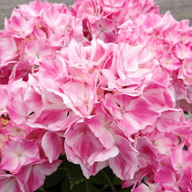 【アジサイ】ハイドランジア ラビエンローズ La vie en Rose(R)【Aグループ】紫陽花 7号鉢 珍しい 21cmポット 新品種 希少 苗 アジサイ 苗 庭 ガーデン ガーデニング 庭植え 鉢植え ギフト 植物 花