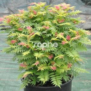 【宿根草】ホザキナナカマド ピンクホピ【Aグループ】Sorbaria sorbifolia 'Pink hopi'