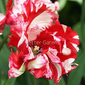 【球根】チューリップ エステララインベルト(5球入)【Cグループ】秋 ガーデニング 園芸 花壇 耐寒性 庭 鉢植え 庭植え 育てやすい 植物 おしゃれ 切り花 植えっぱなし