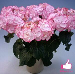 【アジサイ】ケイコピンク【送料無料】ギフト不可 平均3~4輪 HYDRANGEA macrophylla 'Keiko Pink'