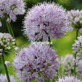 【宿根草】アリウム サマービューティー Allium Summer Beauty(R) 【Aグループ】 多年草 珍しい 花苗 寄せ植え 鉢植え ガーデニング 庭 花壇 花 苗物 園芸 季節 強健 植えっぱなし シェードガーデン おしゃれ 苗