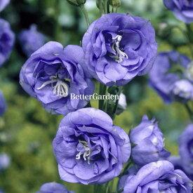 【宿根草】カンパニュラ ラ べル(2ポット1セット)【Aグループ】Campanula persicifolia 'La Belle'