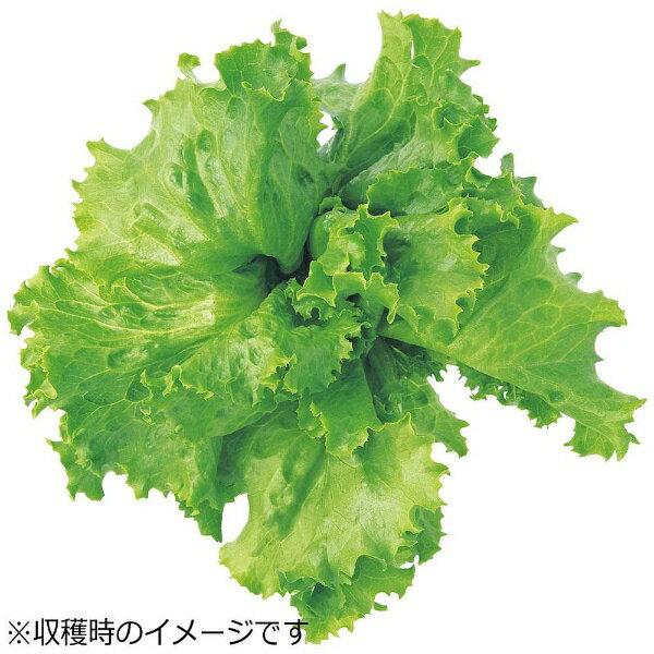 ユーイング UING 水耕栽培種子 レタス(グレートレイクス) 「GreenFarm」 UH-LA01