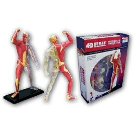 青島文化 AOSHIMA 立体パズル No.13 4D VISION 人体解剖モデル 筋肉と骨格解剖モデル