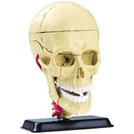 童友社 DOYUSHA 人体模型シリーズ 頭蓋骨(9cm)