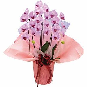 【送料無料】 大輪胡蝶蘭3本立ち 鉢植え 大きいサイズ