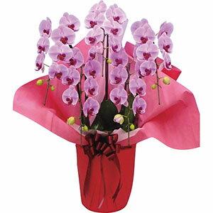 【送料無料】 大輪胡蝶蘭5本立ち 鉢植え 大きいサイズ