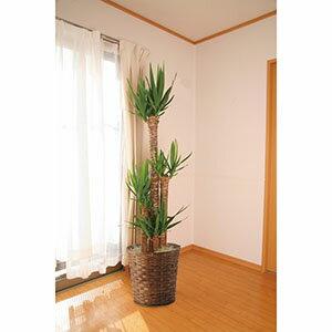 【送料無料】 青年の木ユッカ10号鉢