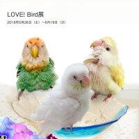 tokyoShiori/LOVE!Bird展公式カタログ1/コザクラインコ//245A0232◆クロネコDM便可能(鳥用