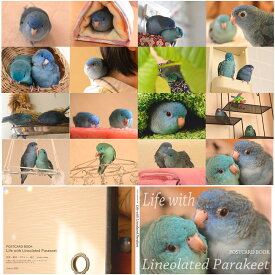 studio akko / ポストカードブック サザナミインコ コバルト・ブルー /151A0245 ネコポス対応可能 ( BIRDMORE バードモア CRAFT GARDEN 鳥用品 鳥グッズ 雑貨 グッズ 鳥 とり トリ インコ プレゼント )
