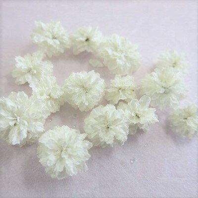 ドライフラワー 八重コデマリ 白色 /ハーバリウム 花材 レジン