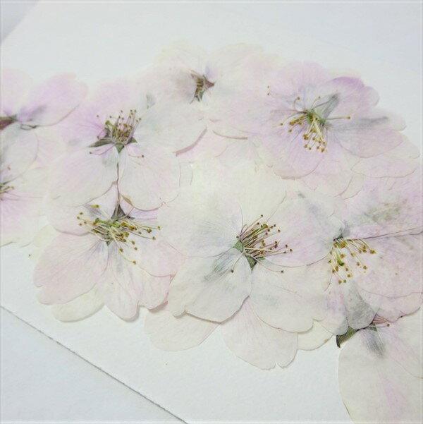 押し花 桜 ソメイヨシノ / ハーバリウム レジン 押し花 ドライフラワー 手芸 桜 サクラ